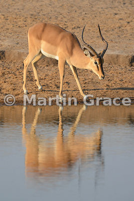 Male Black-Faced Impala (Aepyceros melampus petersi) at Chudob waterhole, Etosha National Park, Namibia