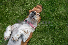 Basset Hound rolled on to back on the green grass having fun