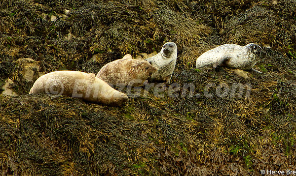 Grey seals in Harris