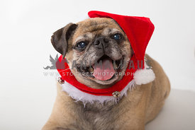 Happy senior pug wearing Santa hat