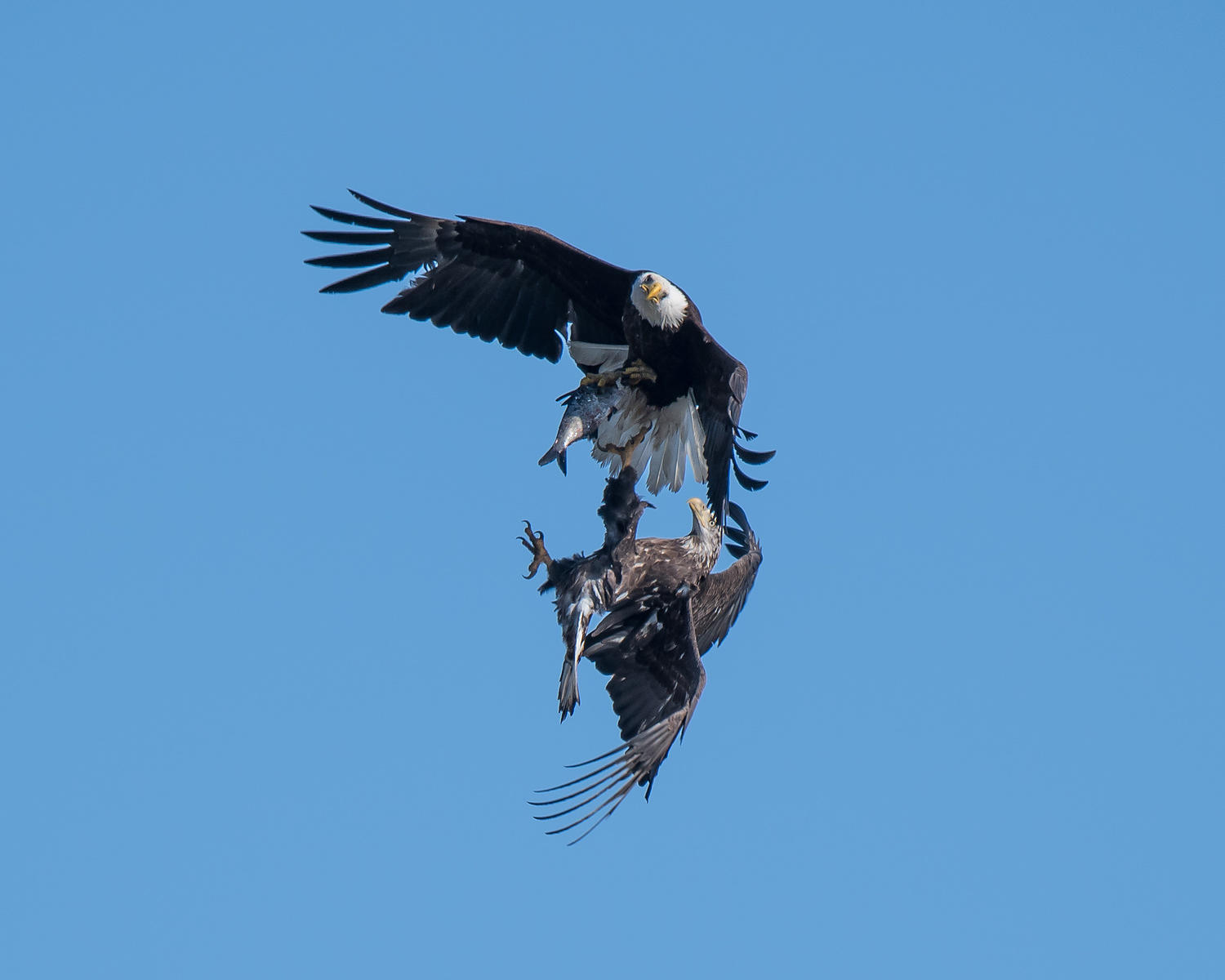 Eagle-Fighting-0352