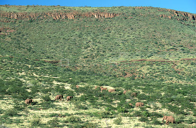 Aerial view of desert African elephants {Loxodonta africana} grazing in grassland, Damaraland, Namibia