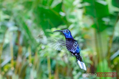 Violet Sabre-wing hummingbird flying, Costa Rica