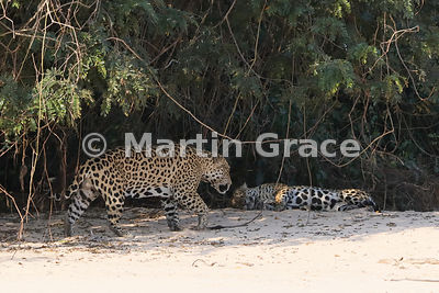 Female Jaguar 'Hunter' lies down and is approached by male 'Hero' (Panthera onca), Three Brothers River, North Pantanal, Mato...