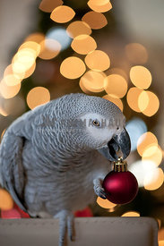 African grey parrot in front of holiday tree with ornament