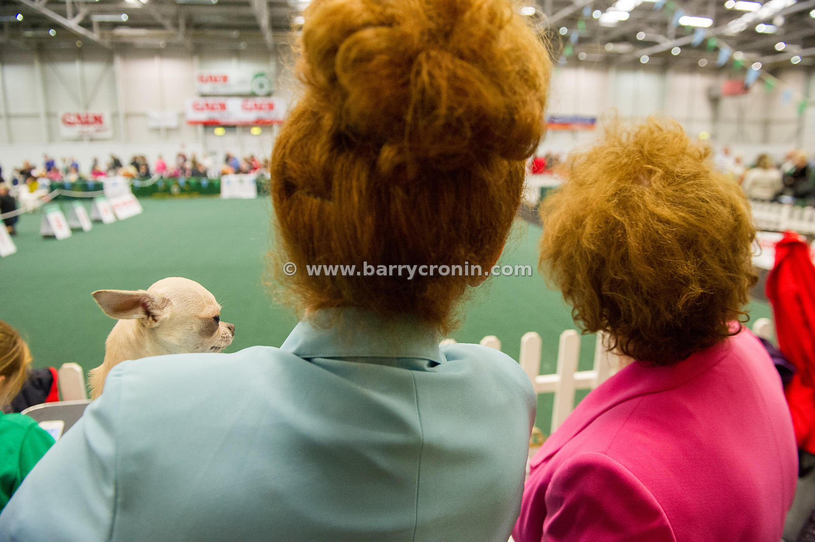 5th October, 2014.IKC (Irish Kennel Club) International show at Cloghran, Dublin. Pictured is Mateo, a Chihuaha from Northern...