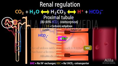 Renal handling of acid-base balance - proximal tubular cells.