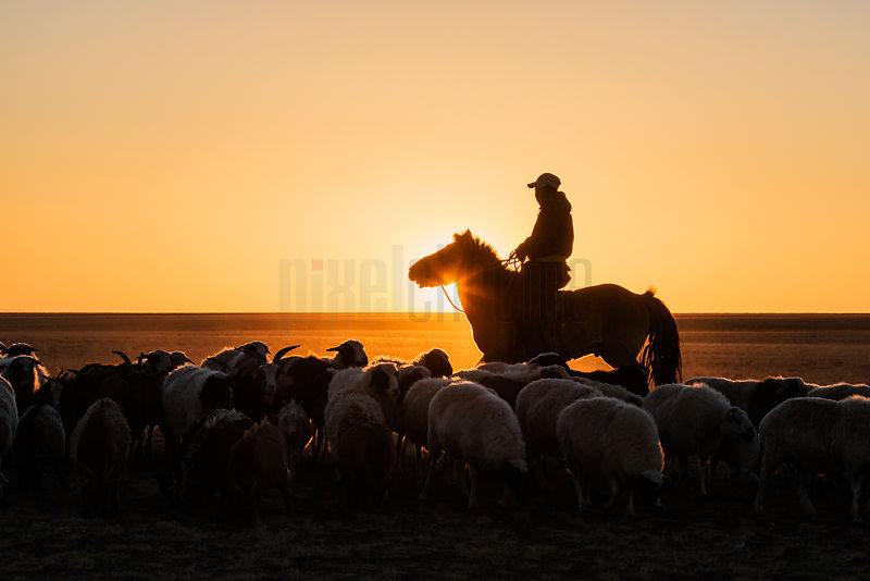 Herder Rounding Up Sheep on the Mongolian Steppe at Sunrise