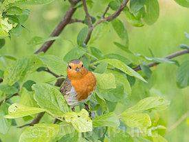 Robin Eithacus rubecula Norfolk May