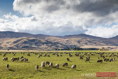 Flock of sheep in a meadow, Canterbury, New Zealand