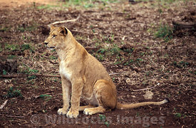 Young Barbary Lion, Rabat Zoo, Rabat, Morocco, Landscape