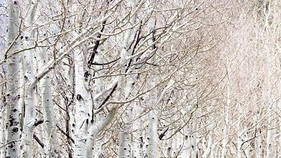 Row of White Birch Trees