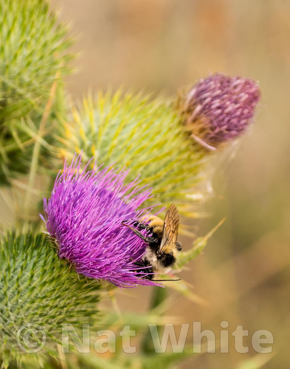 bee_on_thistle-RMSP_Linepipe_shoot2017-68-August_08_2017