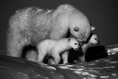 5458-Polar_bear-Ourse_et_ses_deux_oursons_Baffin_Island_Canada_2016_Laurent_Baheux