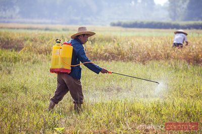 Man with pesticide in rice paddy, China