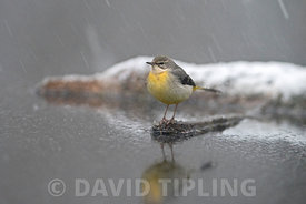 Grey Wagtail Motacilla cinerea female wintering on woodland pool Norfolk January