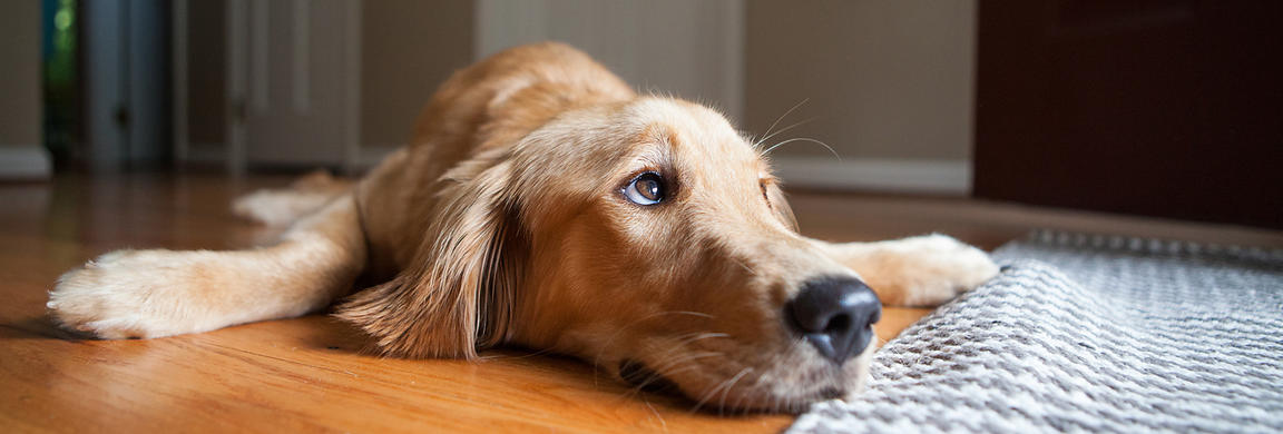 Golden Retriever lying on the floor