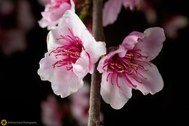 Peach Blossoms # 10