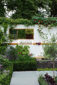 Buxus, Contemporary garden, garden designer, Olive tree, Small garden, Tropaeolum majus, Urban garden, Common Box, Digital, F...