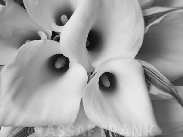 Close-up of calla lily (B&W)