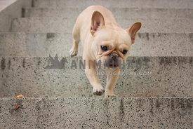 Franch Bulldog walking down stone stairs