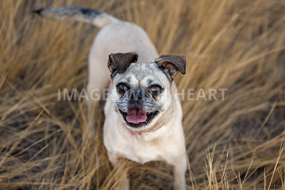 Puggle in tall grass looking up