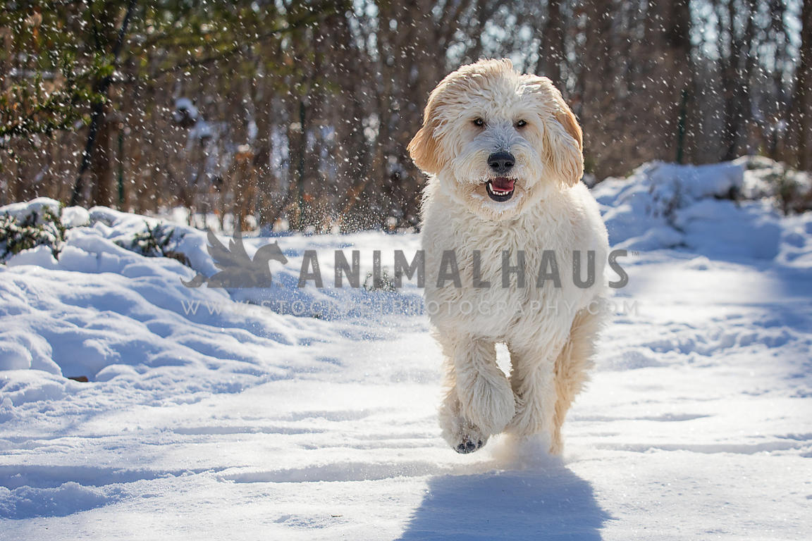 Animalhaus Media | Cute white golden doodle dog runs in the snow