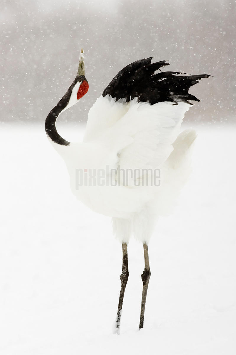 Red Crowned Crane Displaying, Tsurui, Hokkaido, Japan