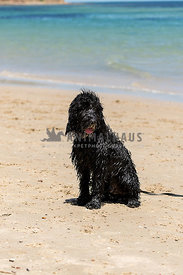Black wet, hairy designer doodle dog sitting on beach ocean in the background.