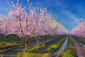 Peach Orchards in Bloom #5