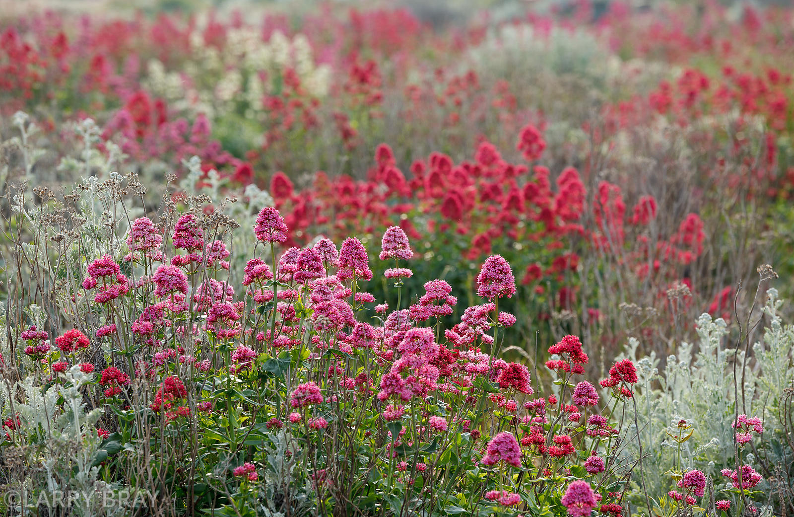 photos   Pink & red flowers on the beach in Shoreham-by-Sea, West