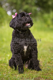 Curly black dog outside in grass