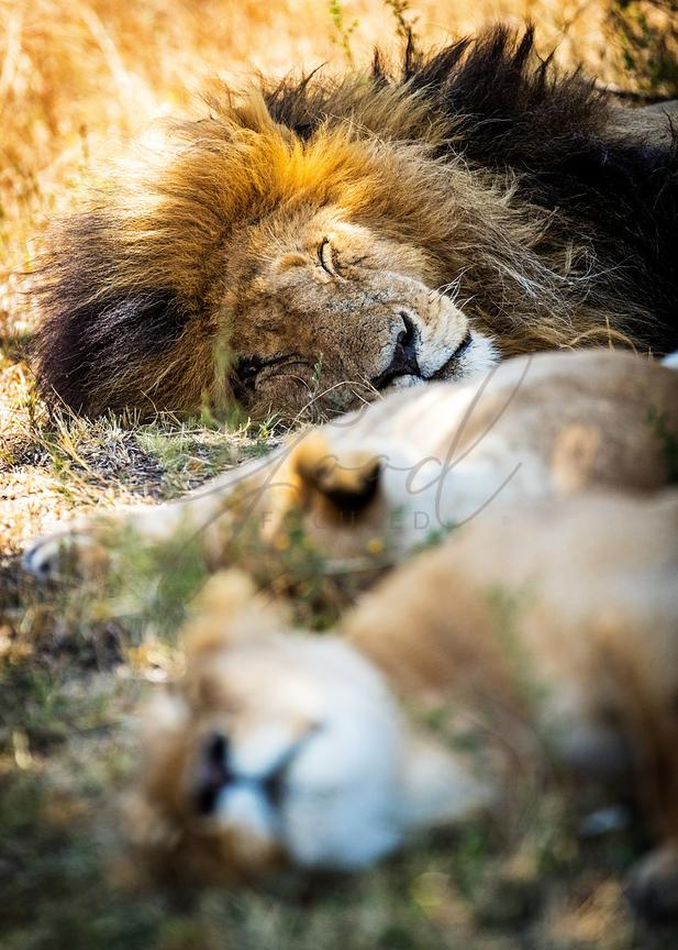 Lion Sleeping With Two Lioness