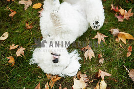 bichon rolling in grass in fall