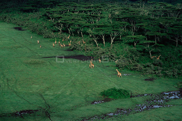 Aerial view of Giraffes {Giraffa camelopardalis} in Crater Highlands, Ngorongoro conservation area, Tanzania.
