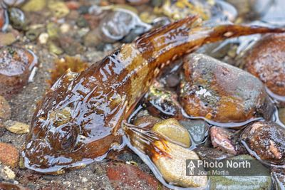 BULLHEAD 02A - Long spined bullhead