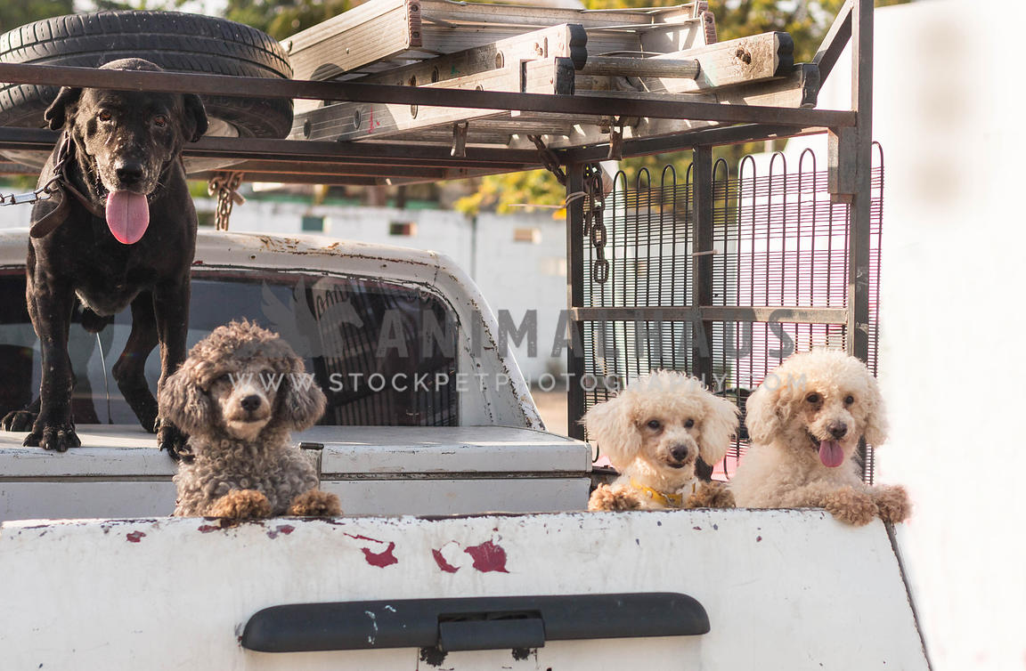 four dogs in a pick up truck