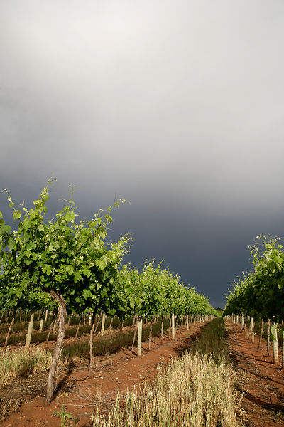 Thunder storm passes over a vineyard of young wine grapes.