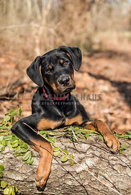 Cute rottweiler puppy laying on a log n the woods on a sunny day.