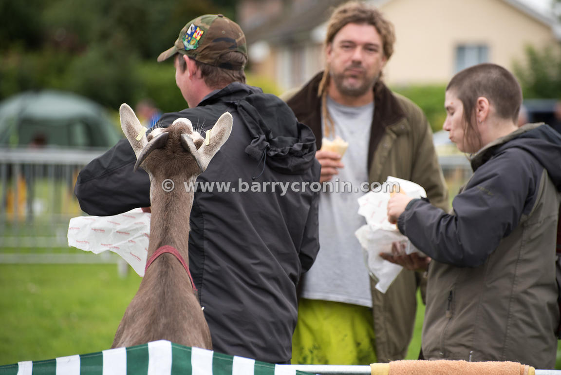 19th August, 2015.The 74th Virginia Agricultural Show, Virginia, County Cavan. Pictured is a hungry young goat watching atten...