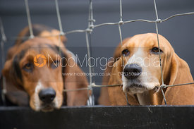 Albany and West Lodge Bassets at the kennels