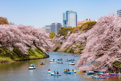 People riding boats for cherry blossom season, Tokyo