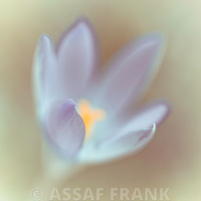 Close-up of Crocus