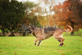 german shepherd dog running with ball in mouth