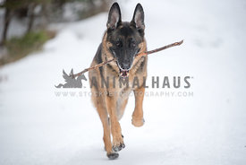 German Shepherd running in snow with a stick