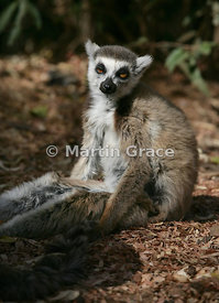 A dozy Ring-Tailed Lemur (Lemur catta) sitting in a very human pose, Berenty Reserve, Madagascar