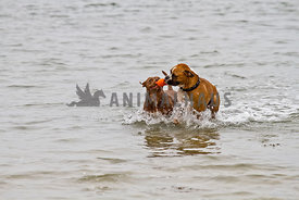 Boxer and Pit Bull 66etrieving orange toy from water together