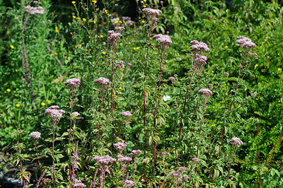 Eupatoire chanvrine en fleur