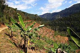 Recently cleared cloud forest that has been planted with banana and papaya plants, Caranavi Province, Bolivia