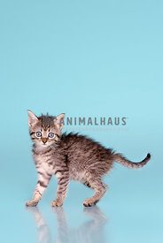 A startled looking tabby kitten on blue background